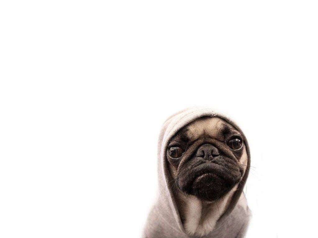 Cute Pug Wallpapers For Iphone Funny Pug Wallpapers Wallpaper Cave