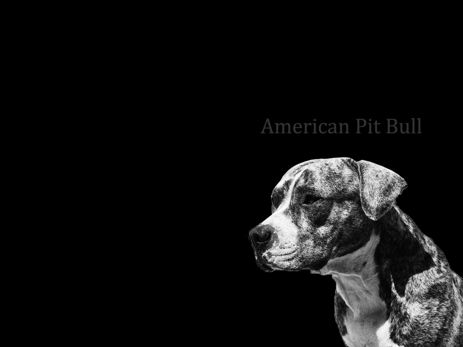 Pitbull Wallpapers 3d Pitbull Dogs Wallpapers Wallpaper Cave