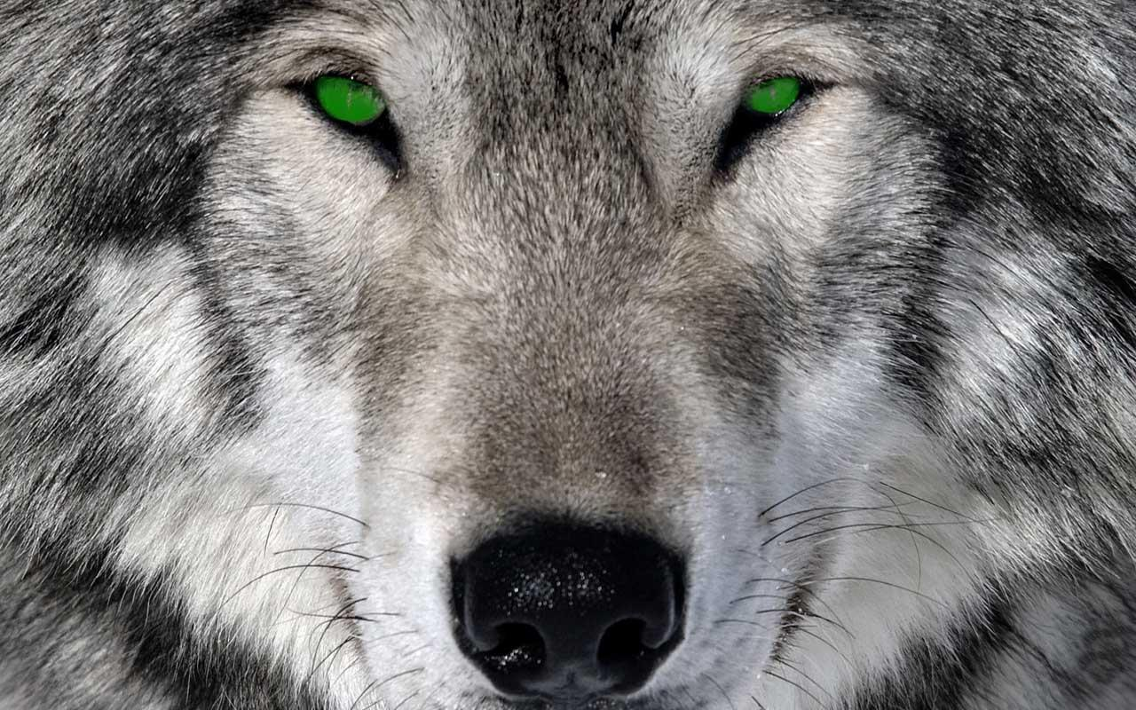 Coole Wolf Bilder Free Wolf Wallpapers Wallpaper Cave