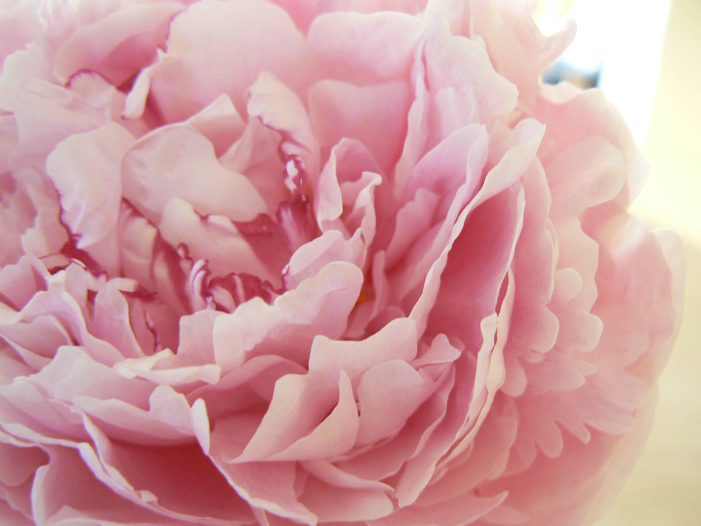 Beautiful Cute Roses Wallpapers Peony Wallpapers Wallpaper Cave