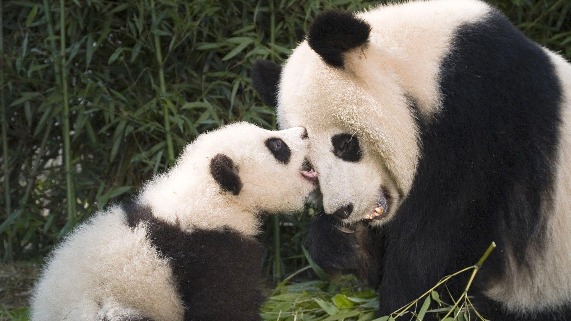 Cute Couple Hugging Wallpaper Baby Panda Wallpapers Wallpaper Cave