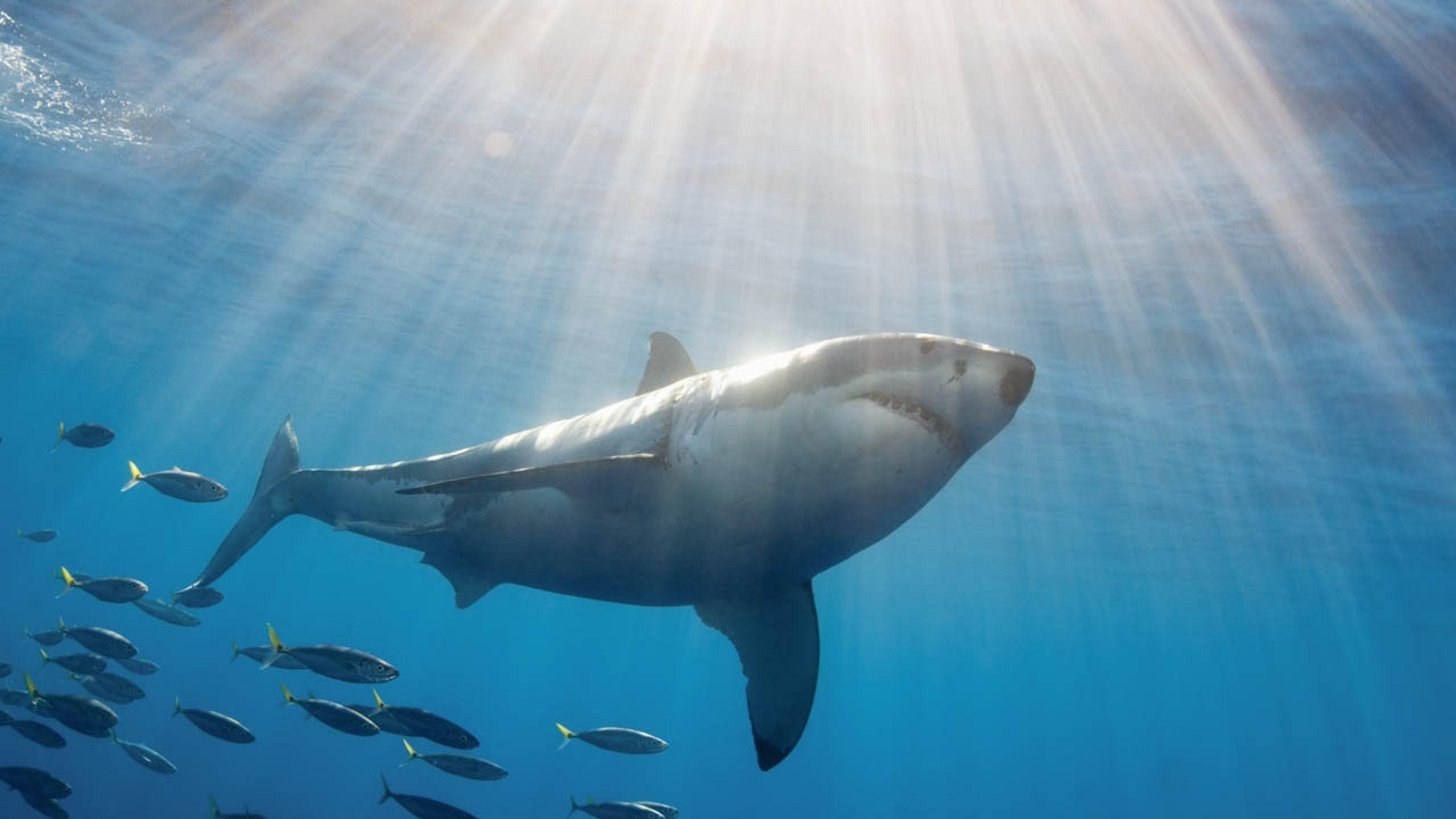 Hd Great White Shark Wallpaper Great White Shark Wallpapers Wallpaper Cave