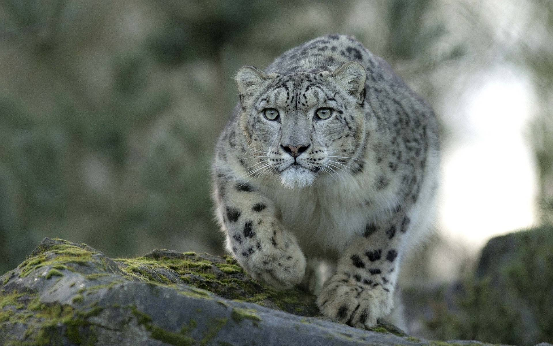 Success Quotes Hd Wallpapers 1080p Snow Leopard Backgrounds Wallpaper Cave