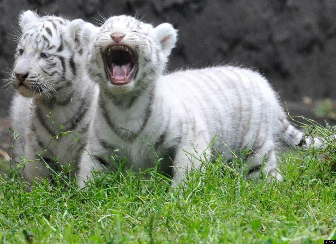 Cute Panda Iphone Wallpapers Baby White Tiger Wallpapers Wallpaper Cave