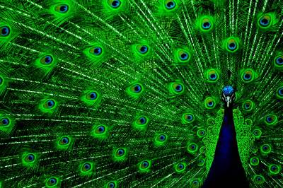 Wallpapers Of Peacock Feathers HD 2015 - Wallpaper Cave