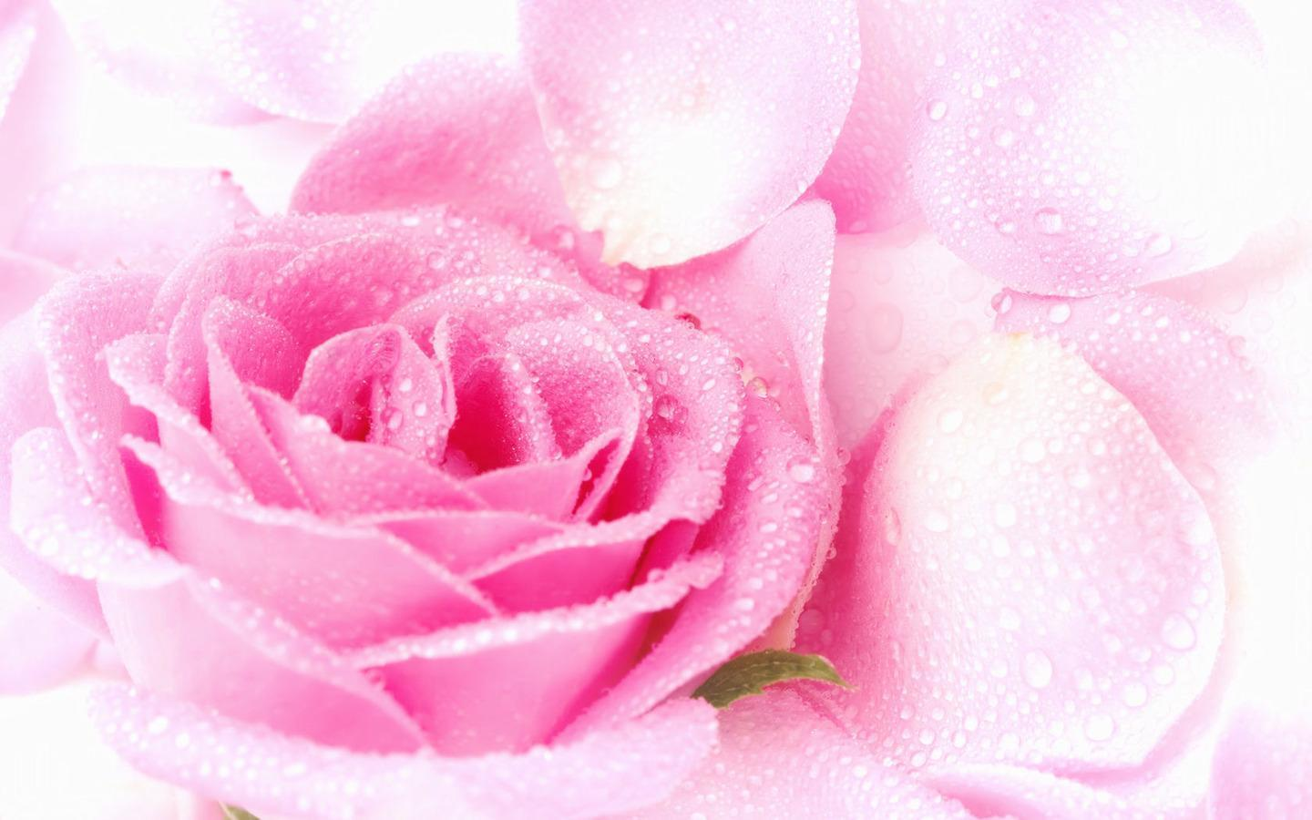 Rosa Pink Pink Rose Wallpapers Wallpaper Cave