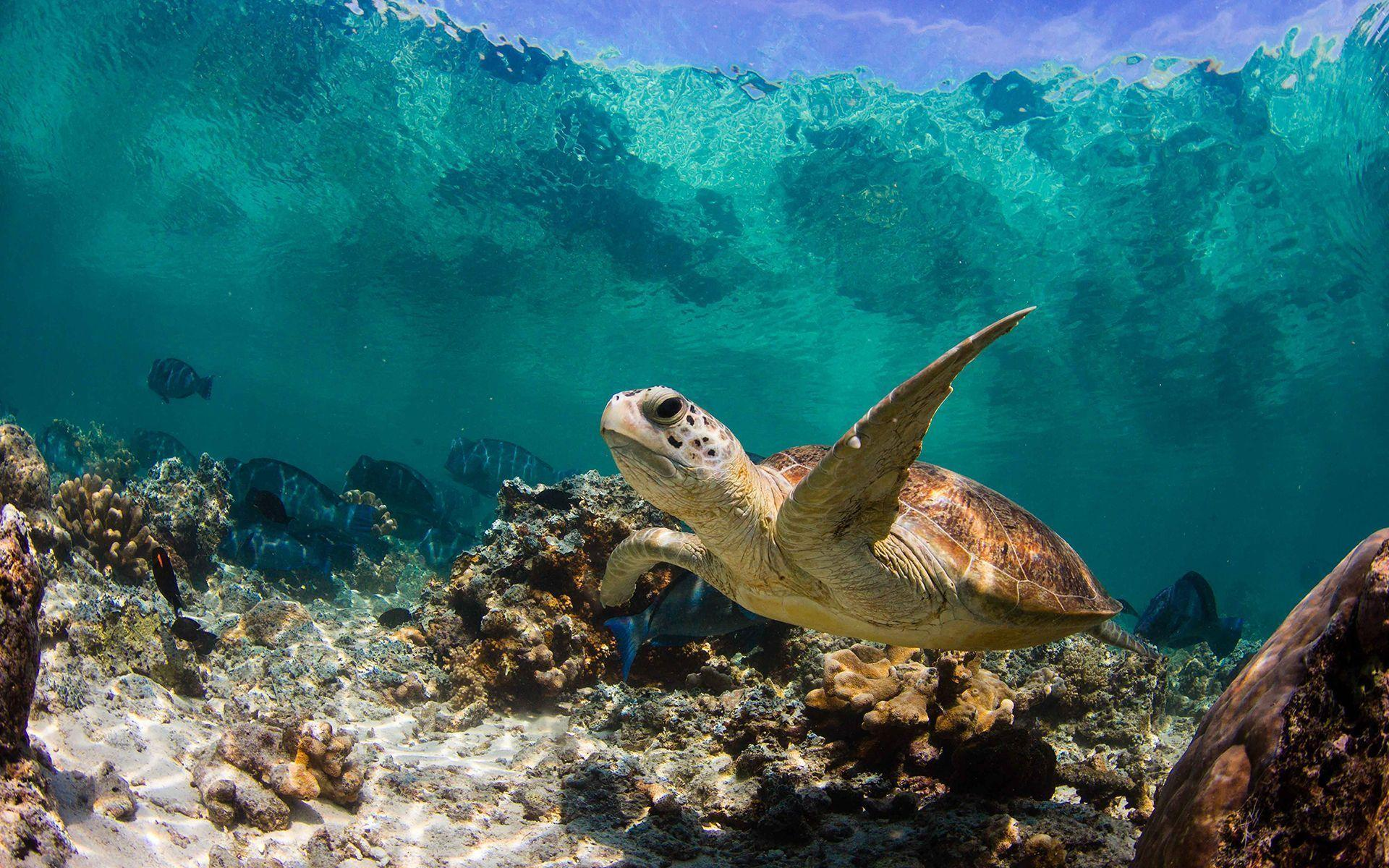Sea Turtles Wallpaper Sea Turtles Wallpapers Wallpaper Cave