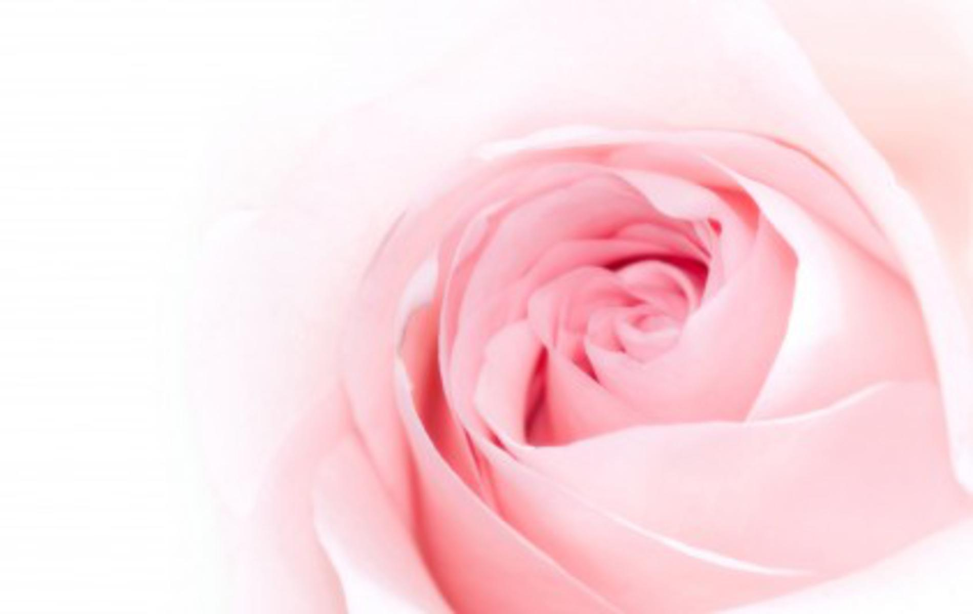 Rosa Pink Pink Rose Backgrounds Wallpaper Cave