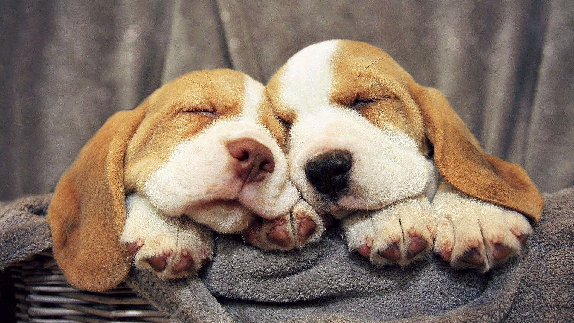 Cute Wallpapers 1080p Beagles Beagle Puppy Wallpapers Wallpaper Cave
