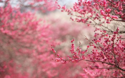 Cherry Blossom Backgrounds - Wallpaper Cave