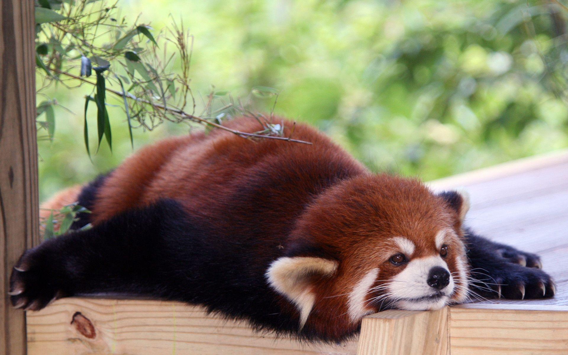 Cute Sleeping Babies Wallpapers Red Panda Backgrounds Wallpaper Cave