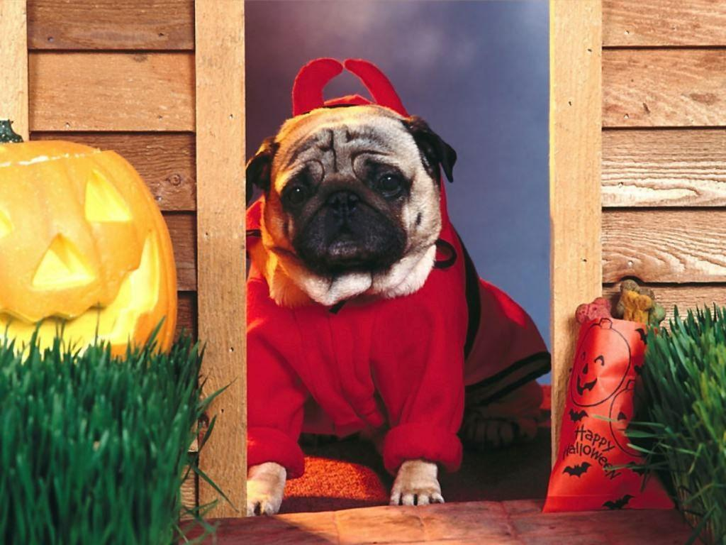 Cute Pug Puppies Wallpapers Funny Pug Wallpapers Wallpaper Cave