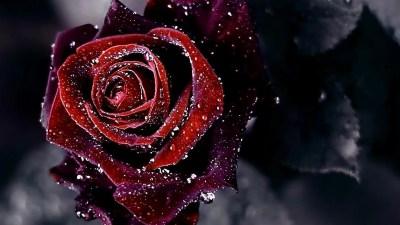 Wallpapers Of Black Roses - Wallpaper Cave