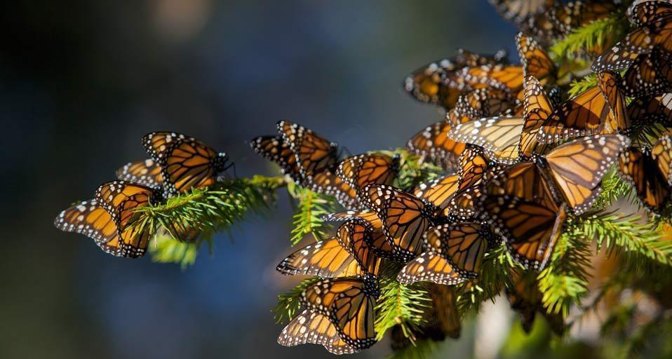 Cars Hd Wallpaper Cave Monarch Butterfly Wallpapers Wallpaper Cave