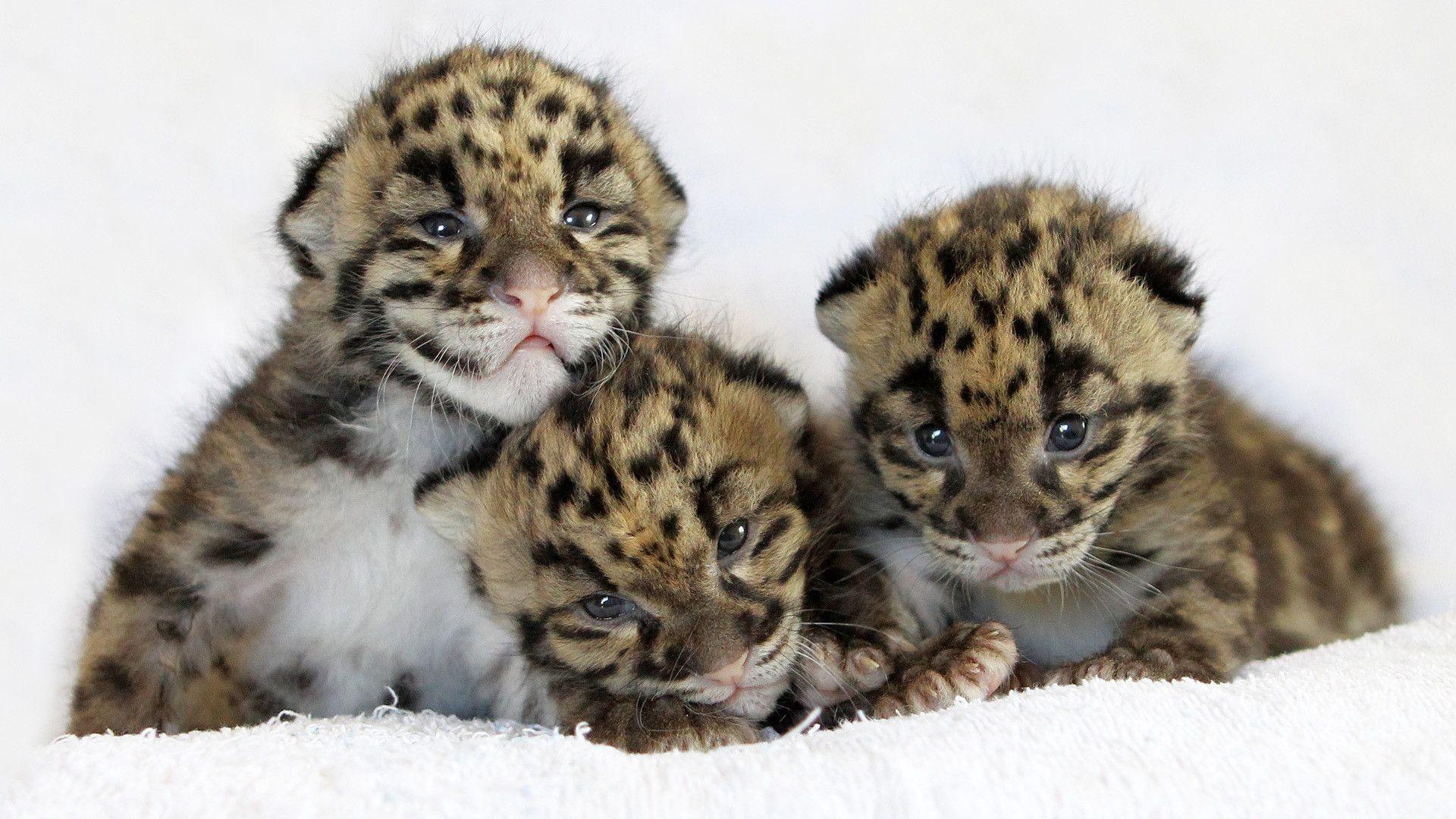 Cute Tiger Cubs Hd Wallpapers Cute Tiger Wallpapers Wallpaper Cave