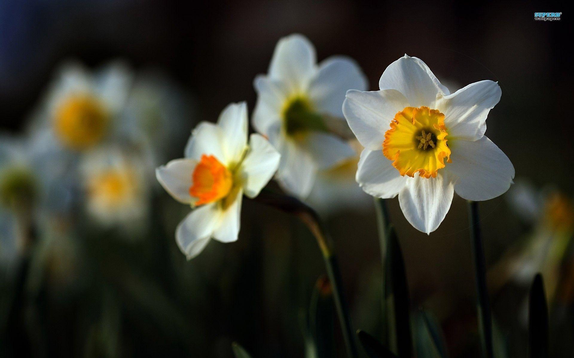 Daffodils Wallpaper Hd Daffodil Wallpapers Wallpaper Cave