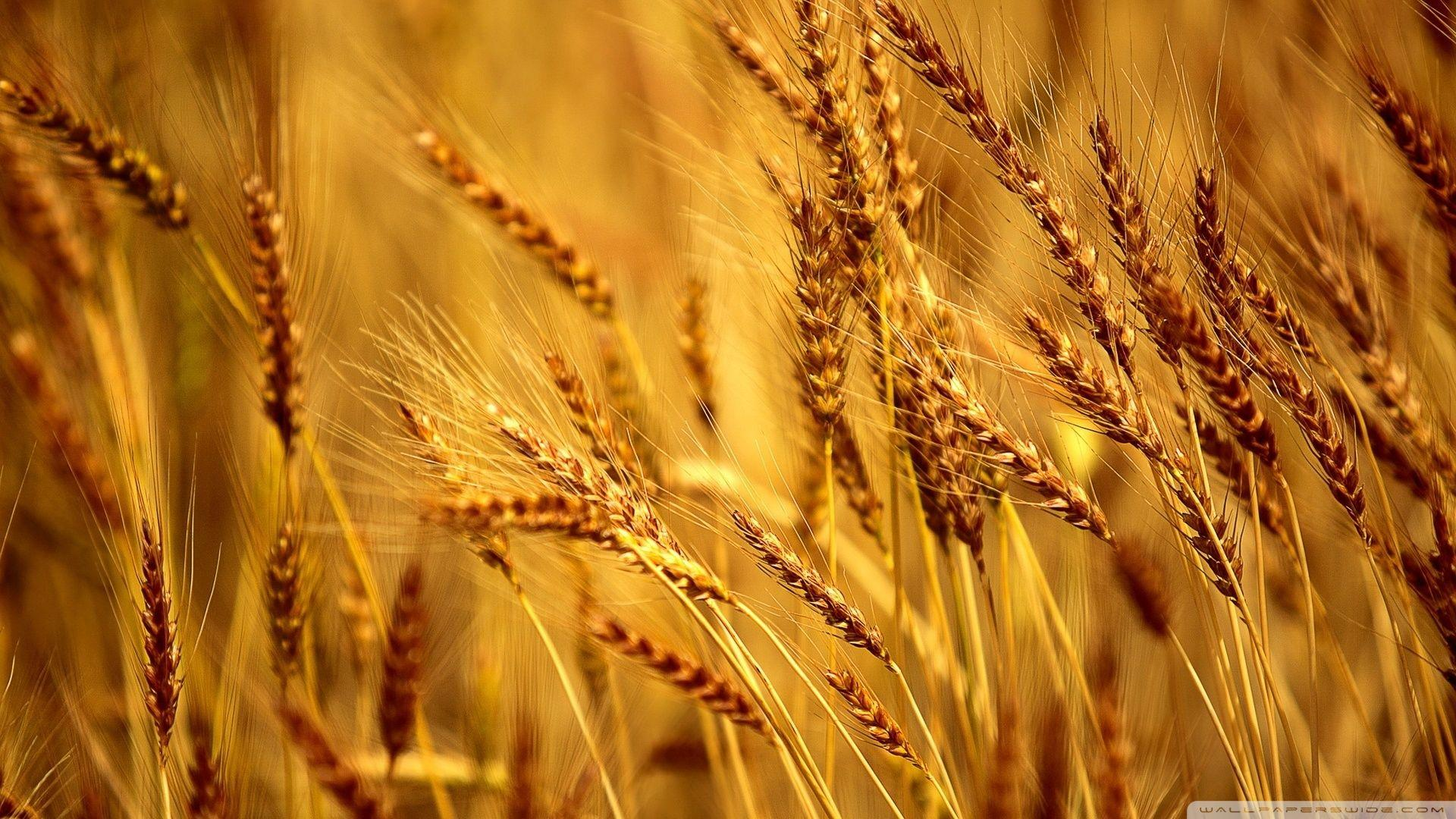 Nature Hd Wallpapers 1080p 3d Wheat Wallpapers Wallpaper Cave