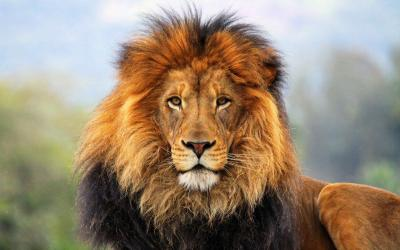 Lion HD Wallpapers - Wallpaper Cave