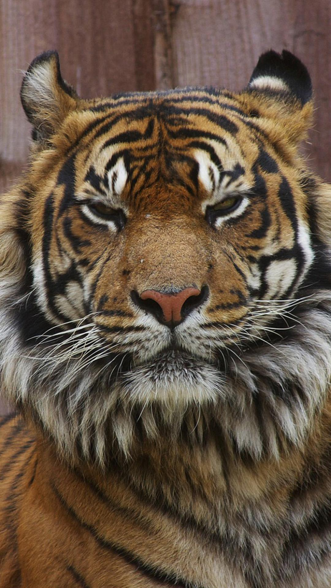 Tiger Iphone 6 Wallpaper Angry Tiger Eyes Wallpapers Wallpaper Cave