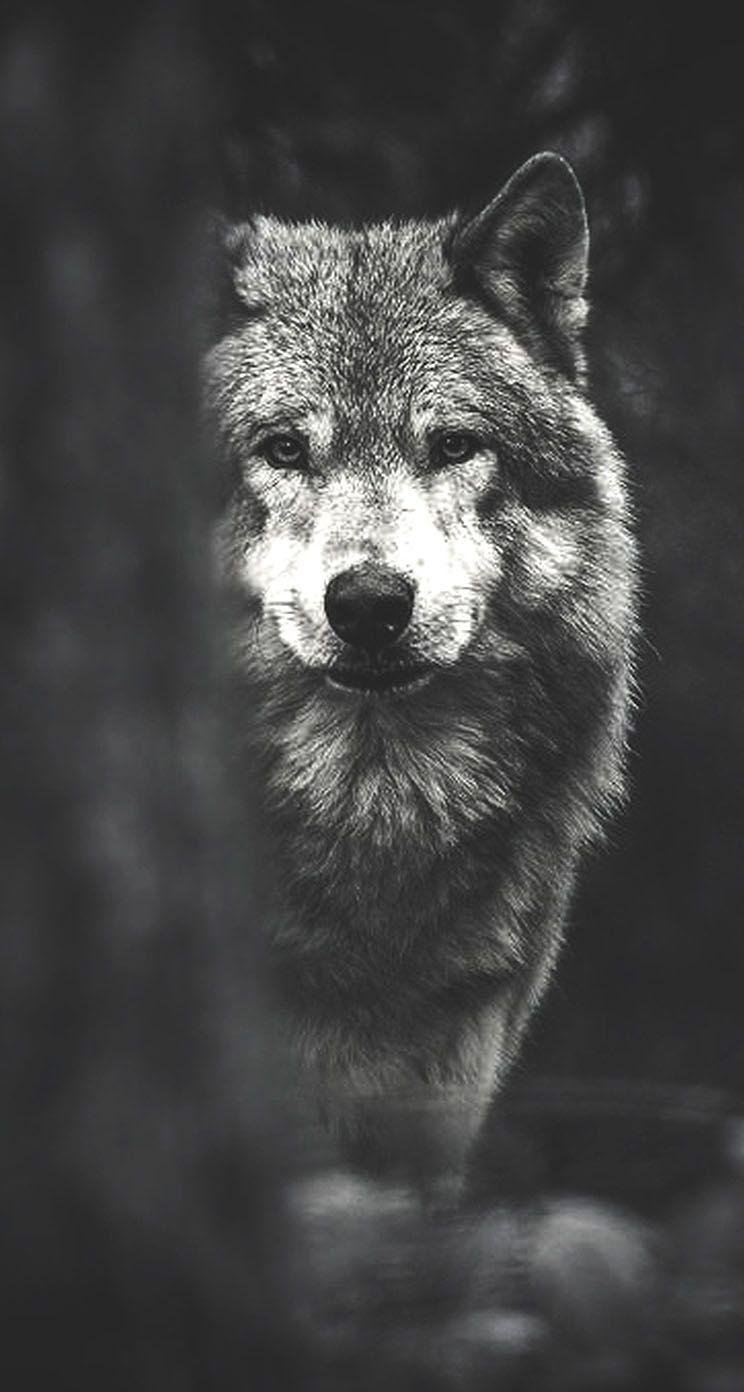 Black Wolf Wallpaper Where Wolf Wallpapers Wallpaper Cave