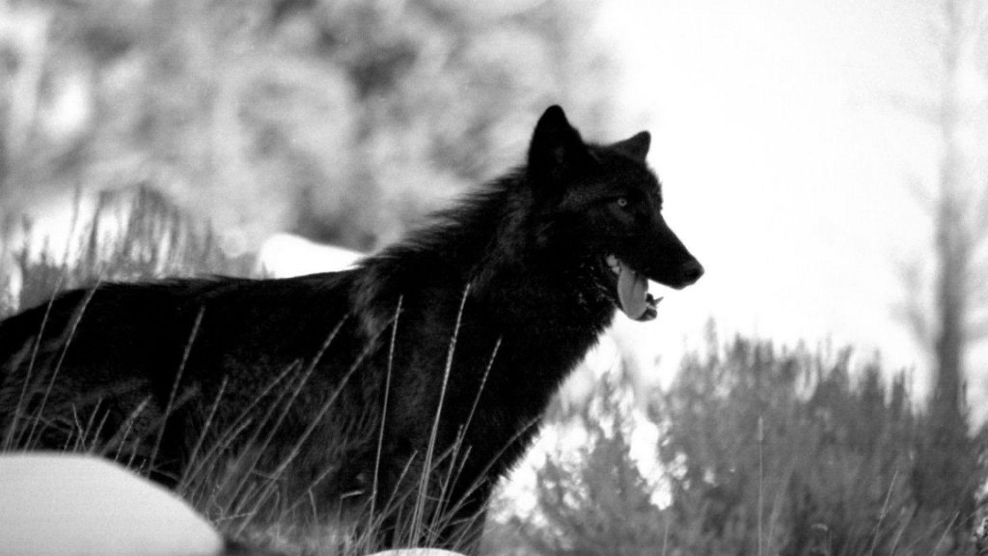 Black Wolf Wallpaper Black Wolf Wallpapers Hd Wallpaper Cave
