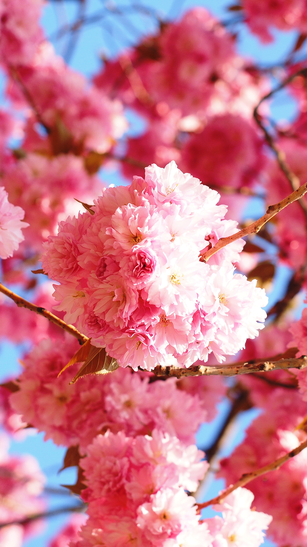 Wallpapers Cherry Blossom Cherry Blossoms Wallpapers Wallpaper Cave