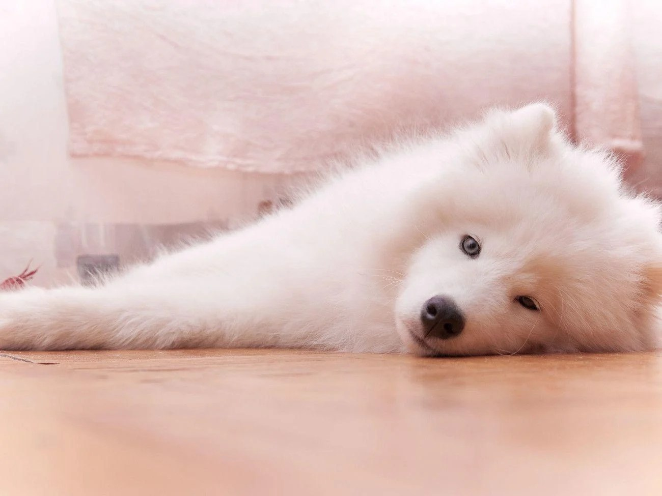 Cute Puppies Wallpaper Backgrounds Samoyed Wallpapers Wallpaper Cave