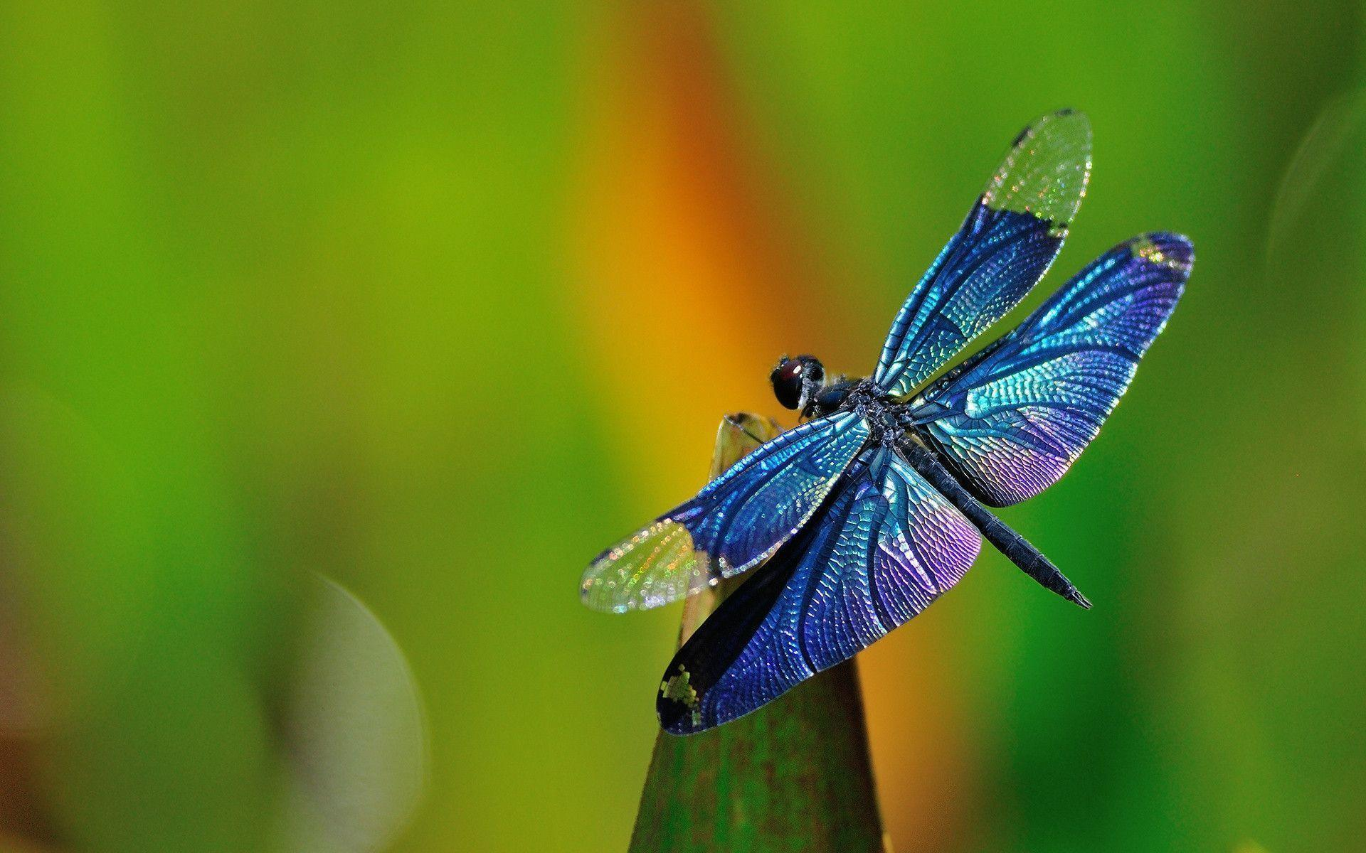 Free Wallpaper Nature Hd Free Dragonfly Wallpapers Wallpaper Cave