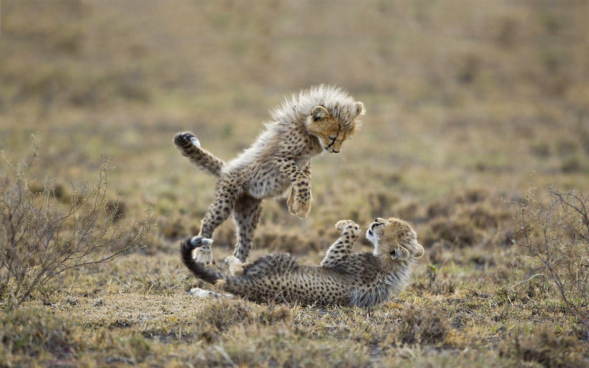 Cute Lion Cubs Hd Wallpapers Cute Cheetah Wallpapers Wallpaper Cave