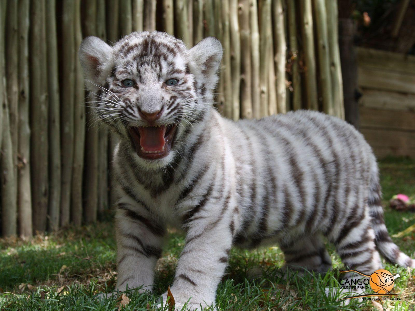 Cute Tiger Cubs Hd Wallpapers White Tiger Cub Wallpapers Wallpaper Cave