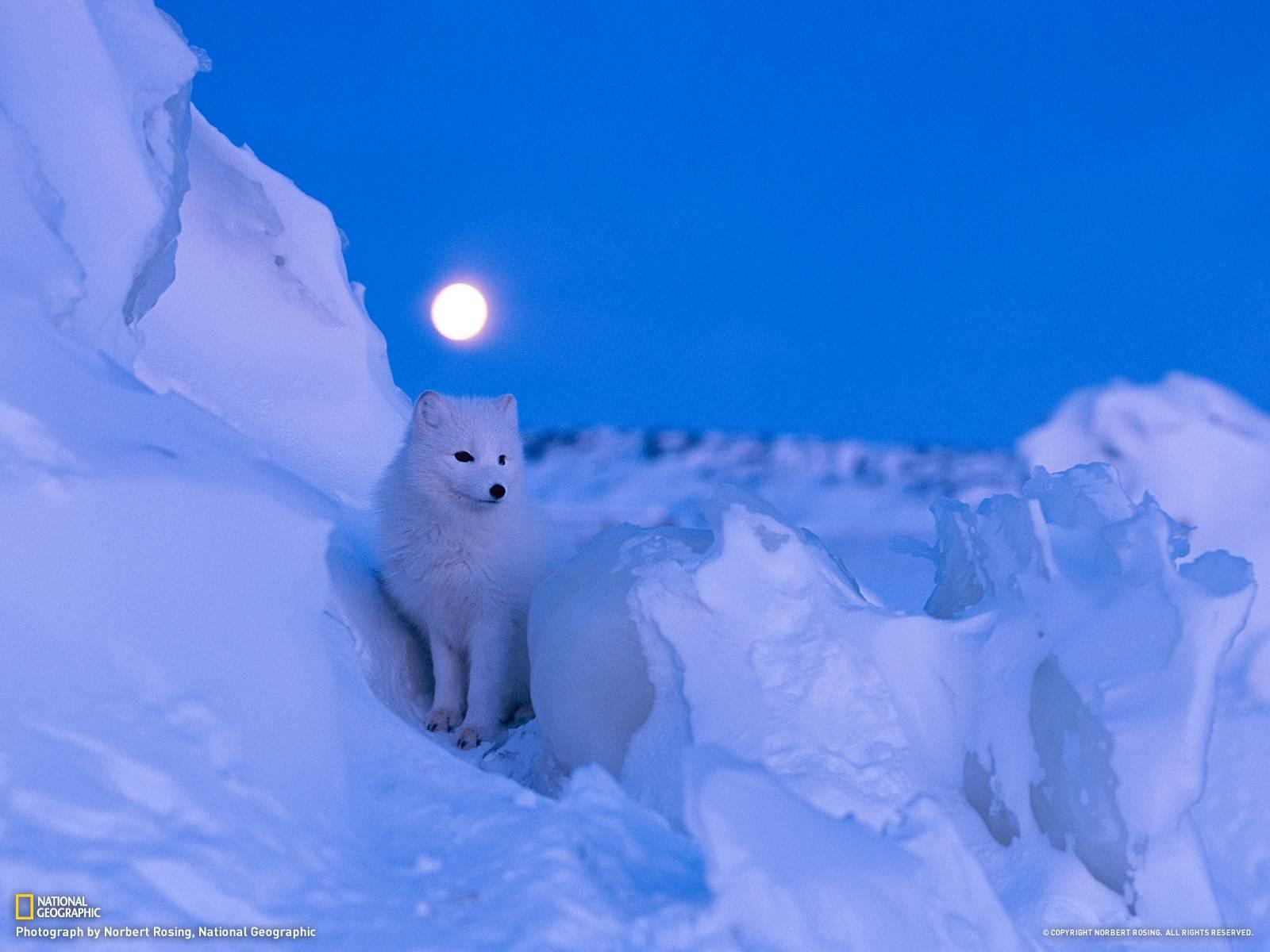 Cute Seal Wallpaper Arctic Fox Wallpapers Wallpaper Cave