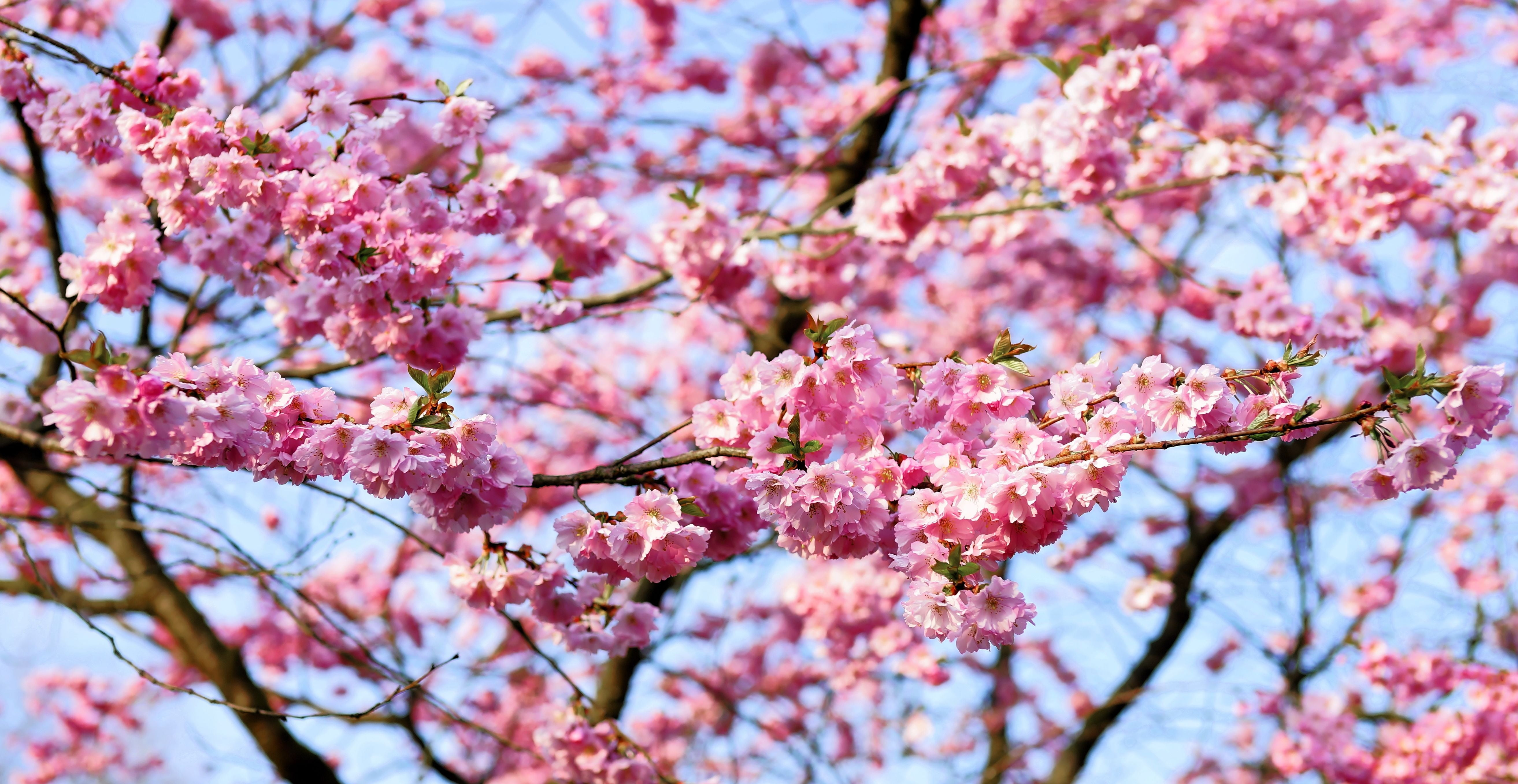 Kirschbaum Wallpaper Pink Cherry Blossom In Bloom At Daytime Hd Wallpaper