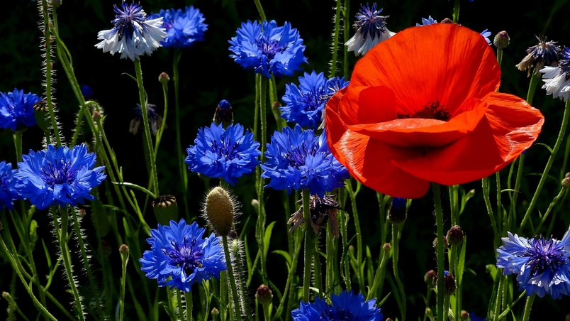 3d Animated Nature Wallpaper Free Download Poppies And Cornflowers Hd Wallpaper Wallpaperfx