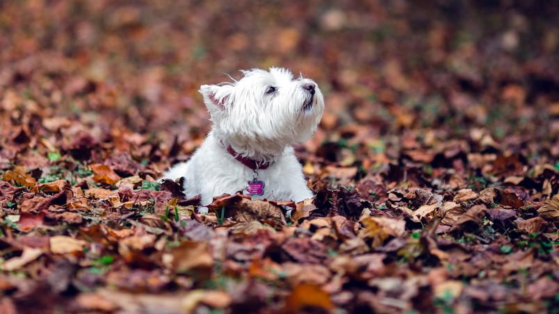 Puppies And Fall Wallpaper Westie Dog Hd Wallpaper Wallpaperfx