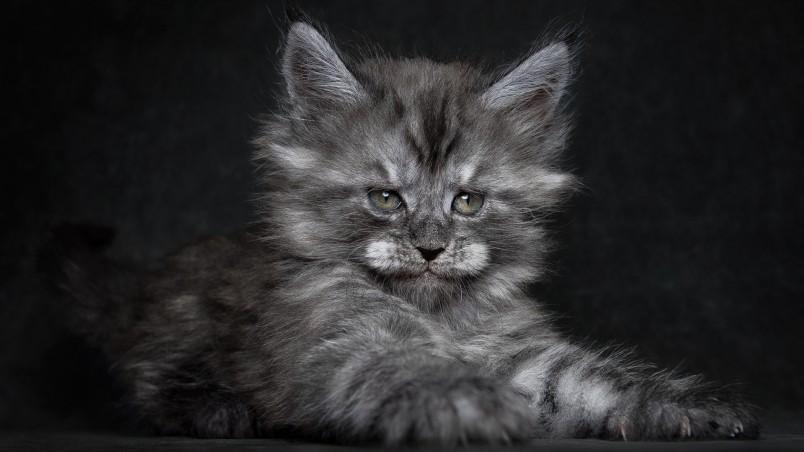 Cute Kitty Wallpapers Free Cute Fluffy Kitten Hd Wallpaper Wallpaperfx
