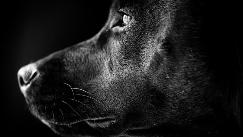 German Shepherd 3d Wallpapers Black Labrador Profile Hd Wallpaper Wallpaperfx