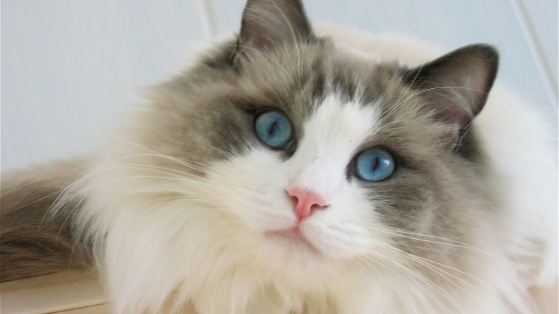 Cute Kitten Wallpaper For Ipad Blue Eyes Ragdoll Cat Hd Wallpaper Wallpaperfx