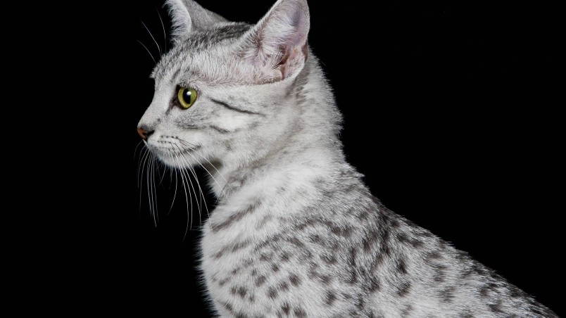 320x480 Animated Wallpapers Egyptian Mau Cat Profile Look Hd Wallpaper Wallpaperfx