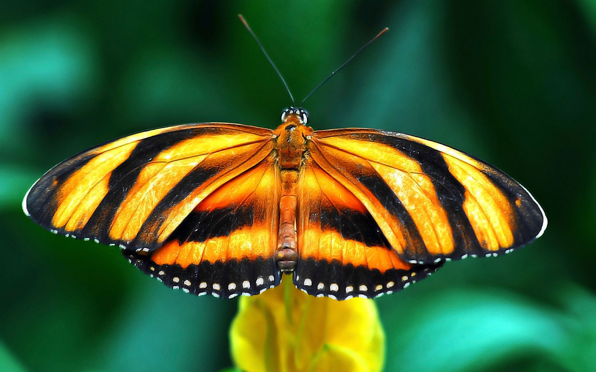 Peace Hd Wallpapers Free Download Yellow And Black Butterfly Animal