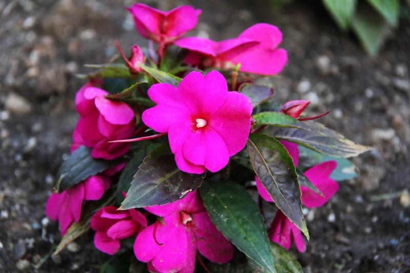 The Girl Next Door Wallpaper New Guinea Impatiens Flower Flower