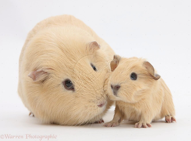 Cute Little Puppies Wallpapers Guinea Pig Wallpaper Hd Download