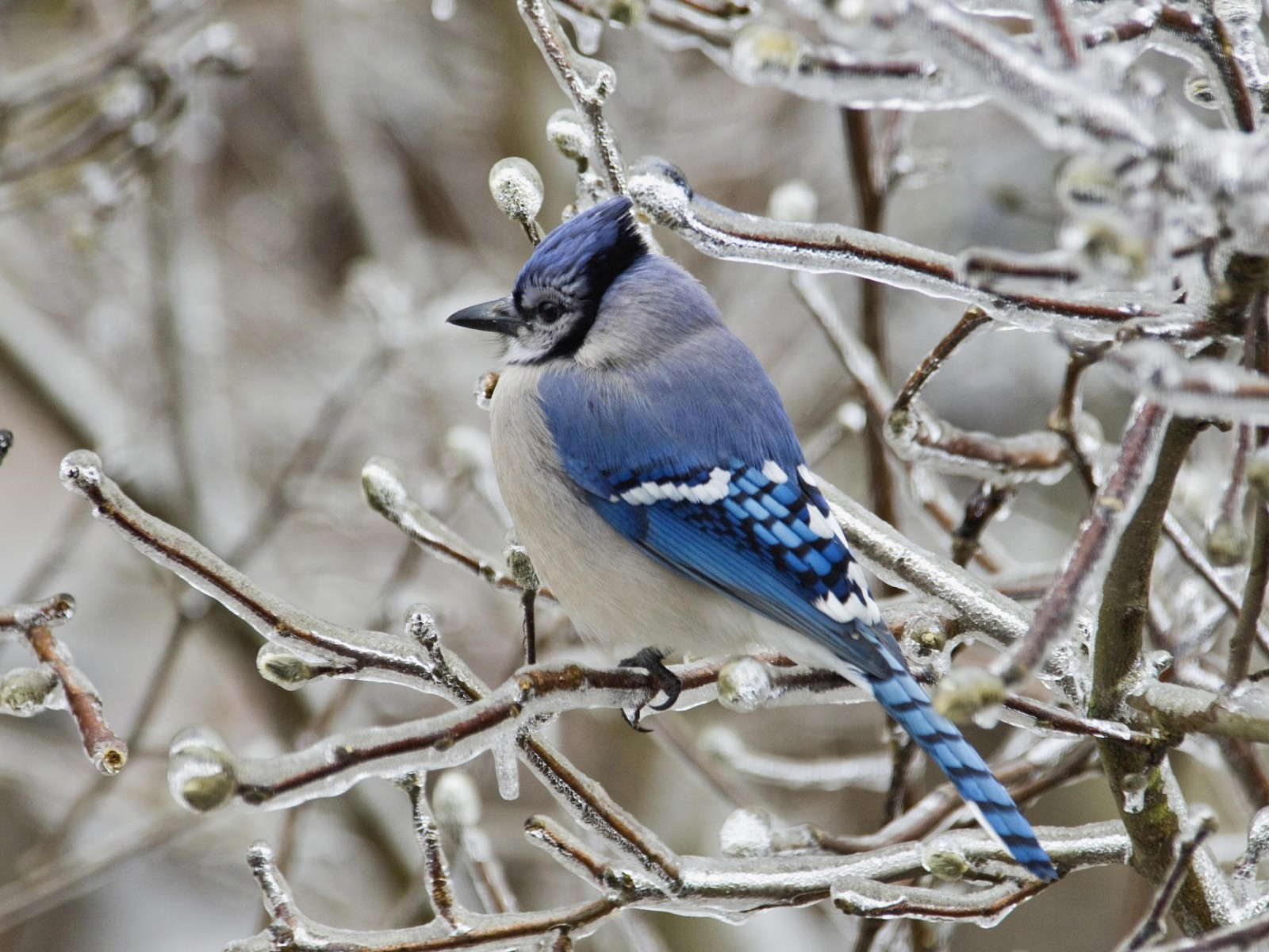 Download Wallpaper Girl Hd Wallpapers Catalogue Com Blue Jay Bird In 1600x1200