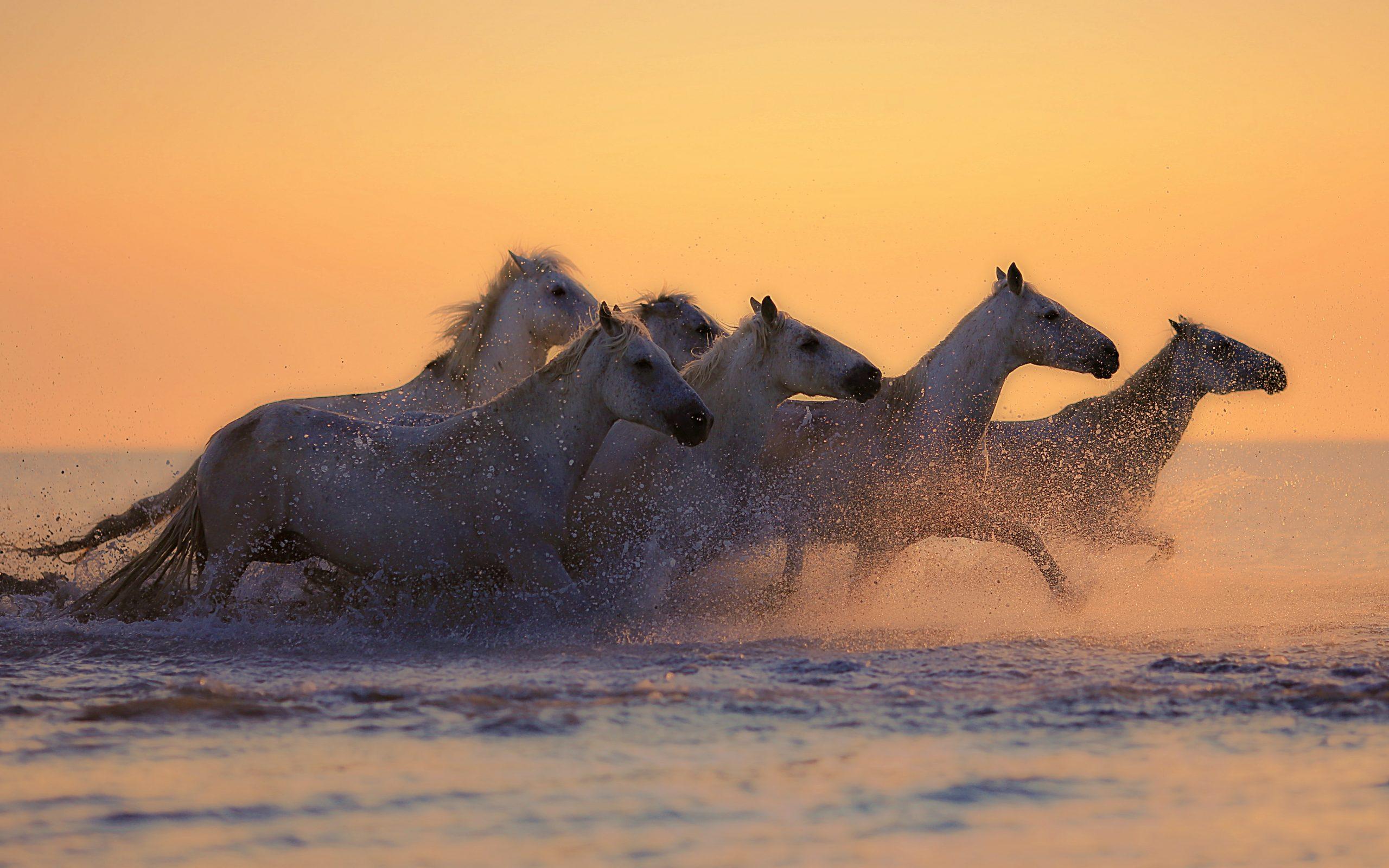 Cute Anime Wallpaper Hd Free Download White Horses Galloping At Sunset 4k Uhd Wallpaper
