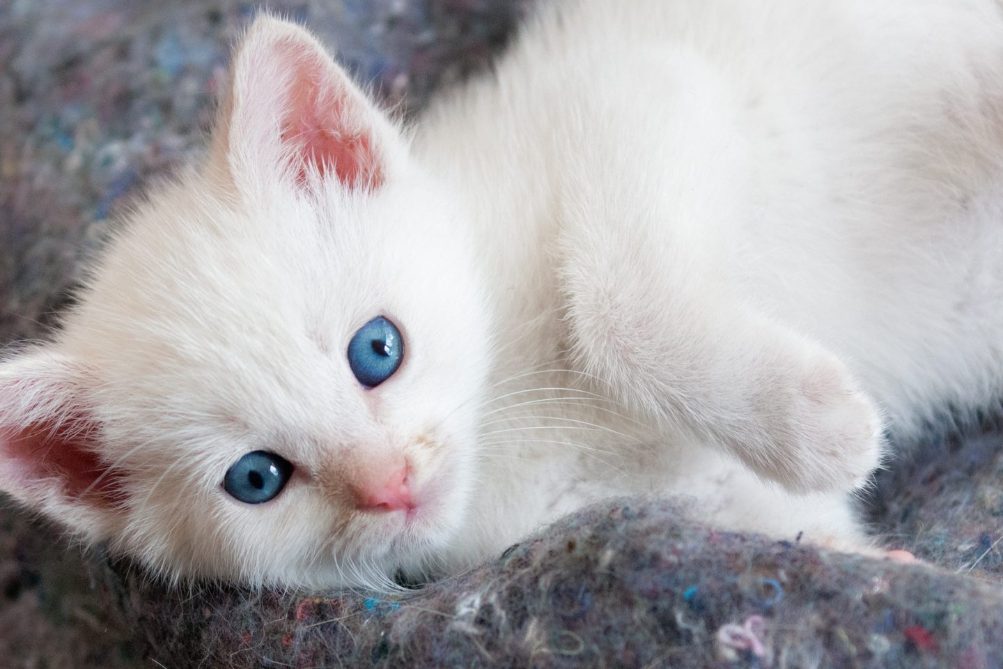 White Cute Cats Wallpapers Beautiful White Kitten With Blue Eyes Hd Wallpaper