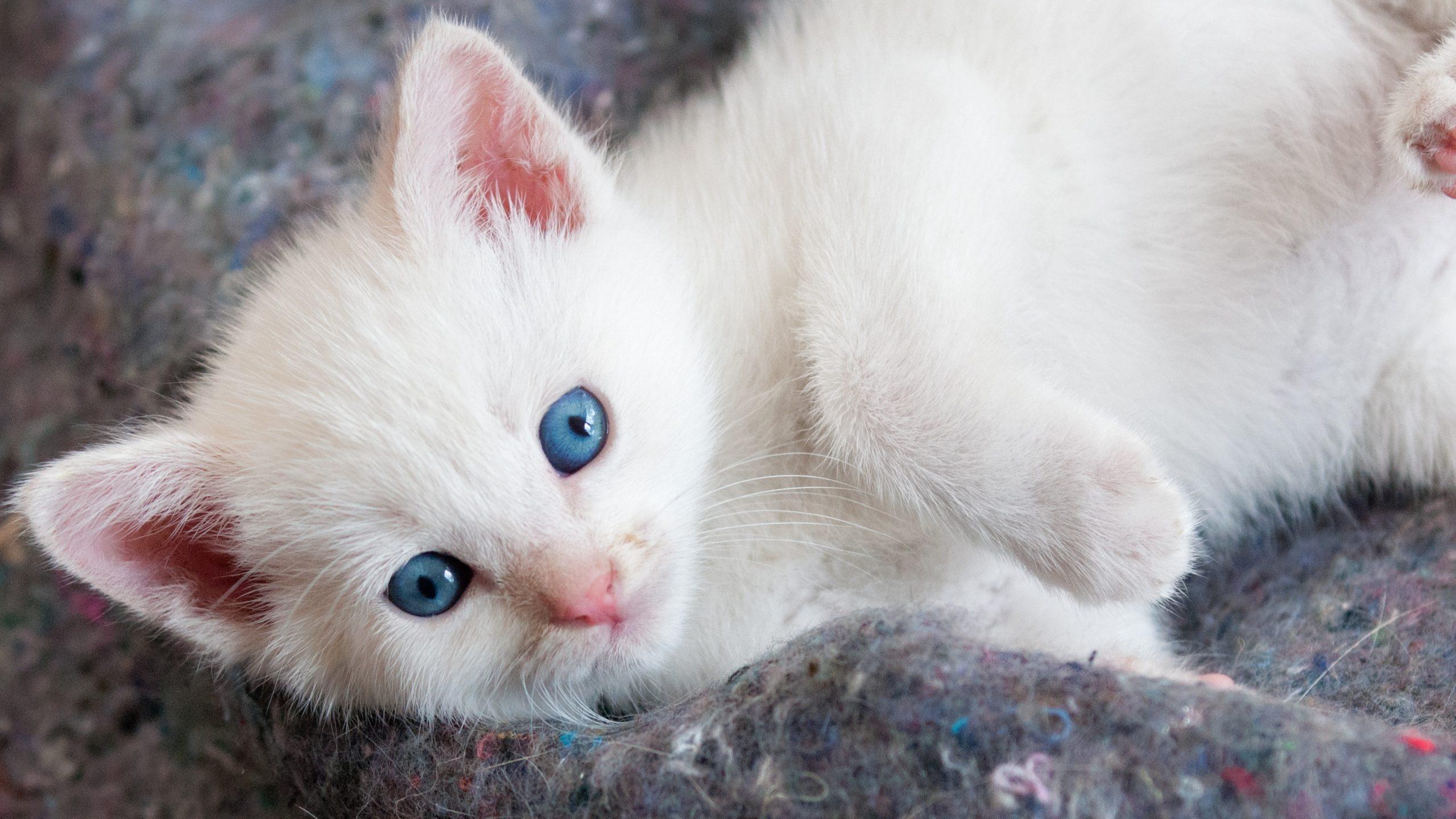 Cute Kitten Wallpaper For Mobile Beautiful White Kitten With Blue Eyes Hd Wallpaper