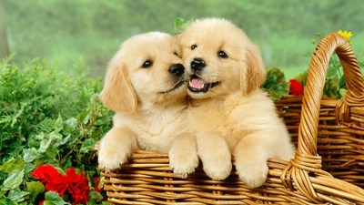 Cute Puppies Desktop Backgrounds HD | 2019 Cute Wallpapers