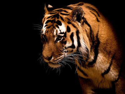 Tiger wallpapers hd free download