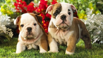 Old English Bulldog Wallpapers High Resolution and Quality Download