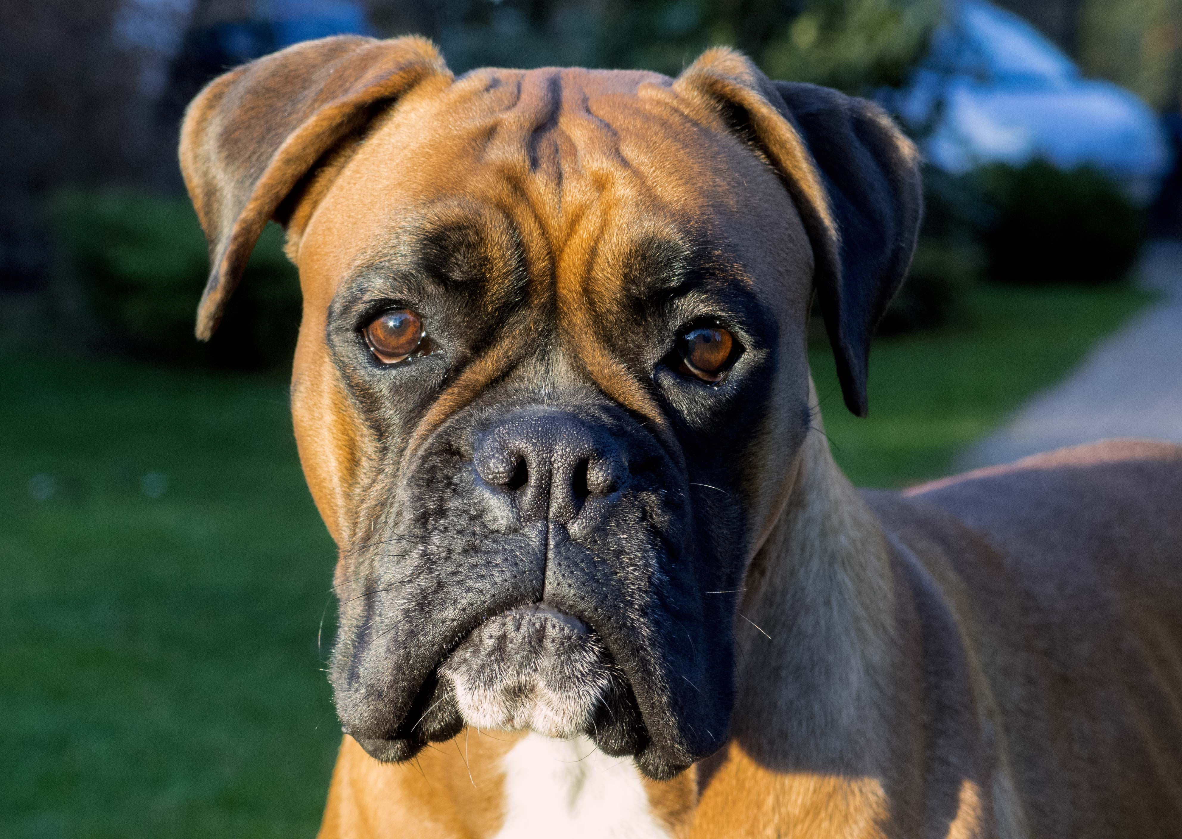 Cute Puppies Wallpaper Backgrounds Boxer Dog Hd Wallpapers