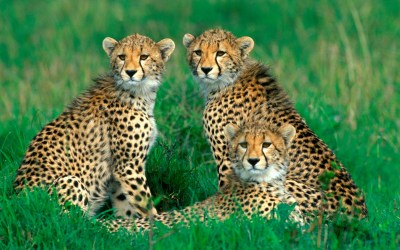 Cheetah HD Wallpapers